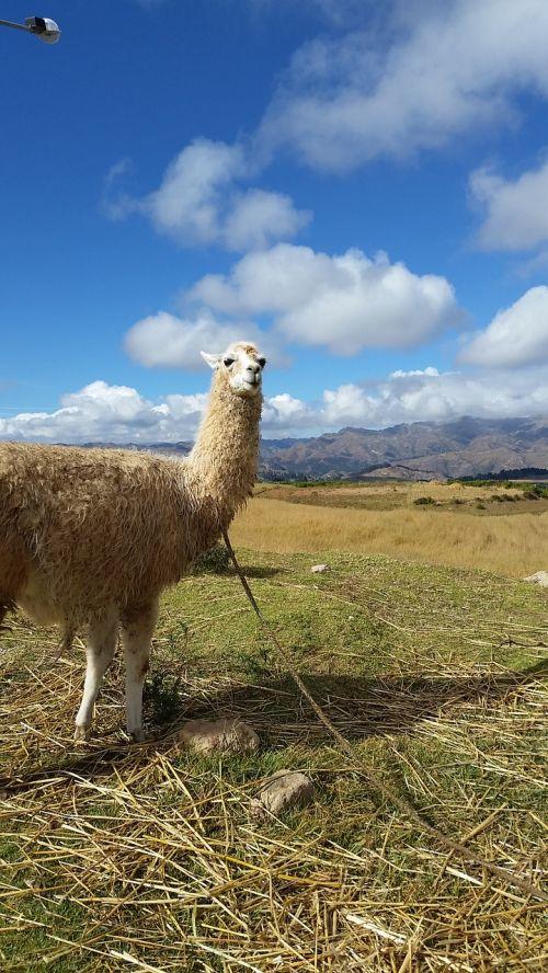 alpaca peru llama