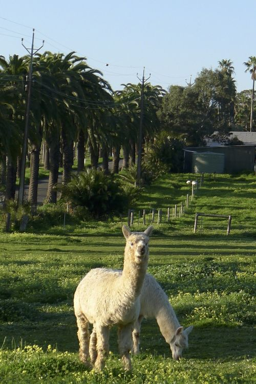 alpaca perth nature