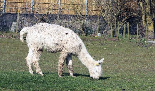 alpaka, gyvūnas, balta, stovintis, valgymas, ganymas, žolė, laukas, lauke, mielas, vilnonis, alpaka