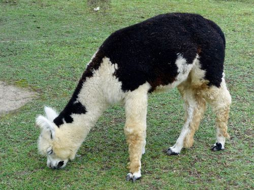 alpaca woolly llama