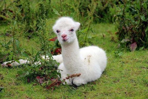 alpaca vicugna pacos pako