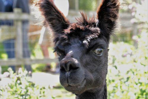 alpaca hair fur