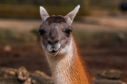 alpaca kamelart paarhufer
