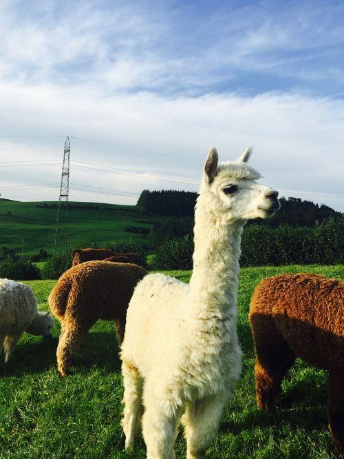 alpaka,st gallen,gamta,gyvūnai,kraštovaizdis,Šveicarija,balta alpaka