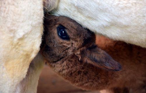 alpaka,galva,gyvūnas,purus,pūkuotas,kailis,gyvūnų portretas,laukinės gamtos fotografija,dėmesio,gamta,portretas,gyvūnų pasaulis,vaizdas,vilnos,žinduolis,mielas,balta,Uždaryti,saldus,atsipalaidavęs,galva alpaka,kūdikis,Alpaka kūdikis,čiulpti,säugendes alpaka,pienas,gerti pieną,motina ir vaiku,jaunas,auginimas,alpaka veisimas,gerti,alkanas