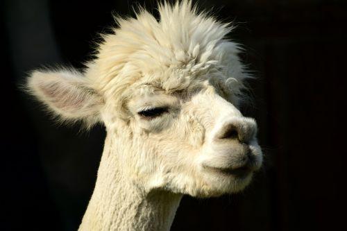 alpaka,galva,gyvūnas,purus,pūkuotas,kailis,gyvūnų portretas,laukinės gamtos fotografija,dėmesio,gamta,portretas,gyvūnų pasaulis,vaizdas,vilnos,žinduolis,mielas,balta,Uždaryti,saldus,atsipalaidavęs,galva alpaka,niūrus,alpaka