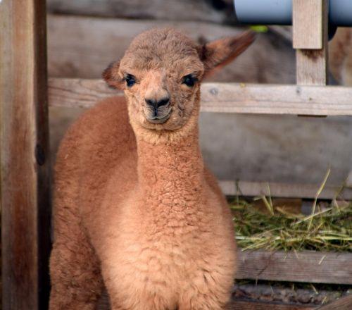 alpaka,galva,gyvūnas,purus,pūkuotas,kailis,gyvūnų portretas,laukinės gamtos fotografija,dėmesio,gamta,portretas,gyvūnų pasaulis,vaizdas,vilnos,žinduolis,mielas,ruda,Uždaryti,saldus,atsipalaidavęs,galva alpaka,kūdikis,Alpaka kūdikis,mažas,alpaka veisimas,jaunas