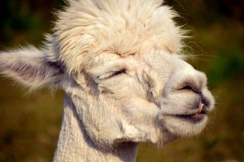 alpaka,galva,gyvūnas,purus,pūkuotas,kailis,gyvūnų portretas,laukinės gamtos fotografija,dėmesio,gamta,portretas,gyvūnų pasaulis,vaizdas,vilnos,žinduolis,mielas,balta,Uždaryti,saldus,atsipalaidavęs,galva alpaka,niūrus,alpaka,juokinga,padaryti veidą,šypsena,wink