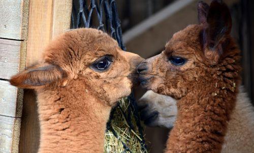 alpaka,gyvūnas,vilnos,žinduolis,kailis,purus,laukinės gamtos fotografija,gamta,pūkuotas,gyvūnų pasaulis,mielas,saldus,galva,portretas,Uždaryti,gyvūnų portretas,galva alpaka,atsipalaidavęs,bučinys,švelnus,žaisti,berniukas,jaunoji alpaka,draugai,norėčiau,jaunas,auginimas,Alpaka kūdikis