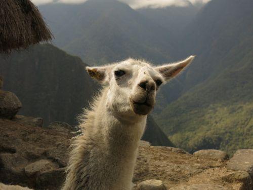 alpaca lama camel