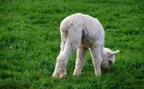 alpaca baby animal young