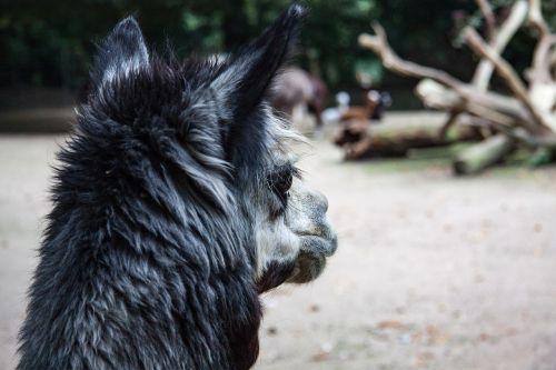 alpaka,gyvūnas,gyvūnų portretas,alpaka vilnos