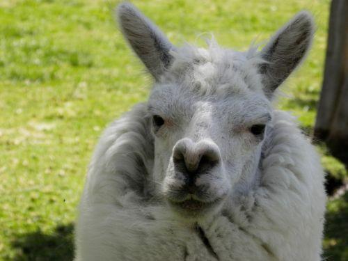 alpaca auquénido andean