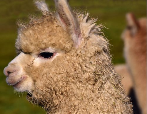 alpaca mammal animal