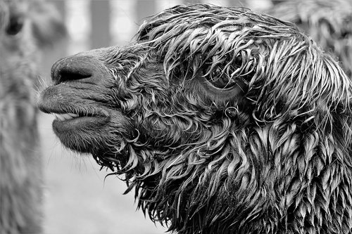 alpaca  black and white photography  close up