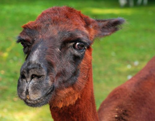 alpaca pako red brown