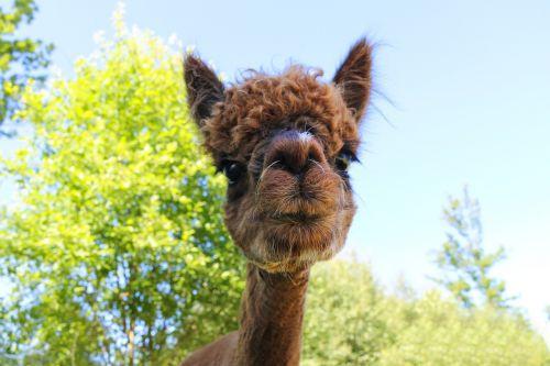alpaca cute fleece