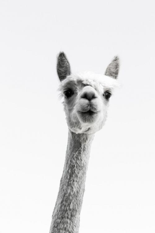 alpaca long neck curious