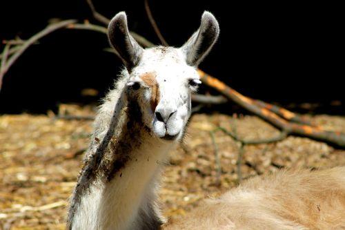 alpaca llama lama