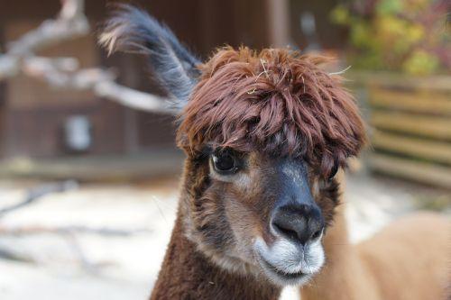 alpaca andes wool