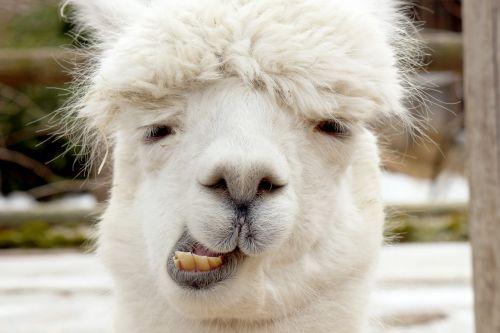 Alpaca Chewing