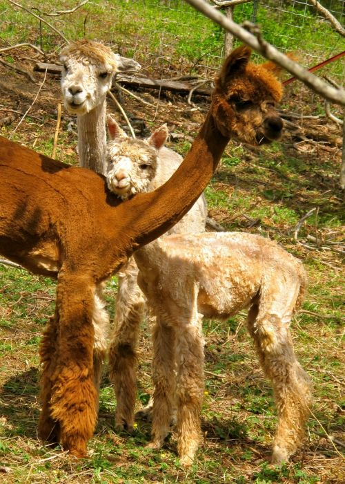 alpacas fleece fiber