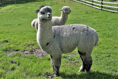 alpacas  hell  animals