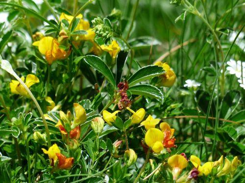 alpenhorn clover fenugreek blossom