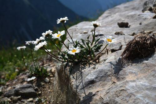 alpenmargerite flower flowers