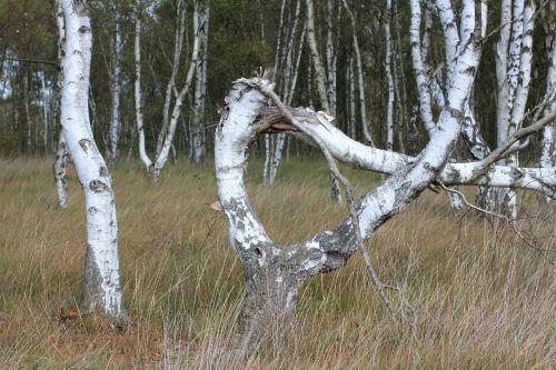 alpha tree bent