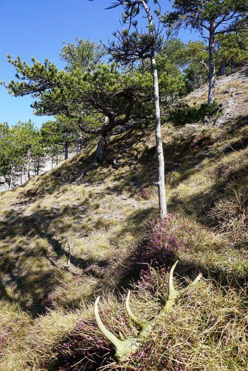 alpine natural humor black pine