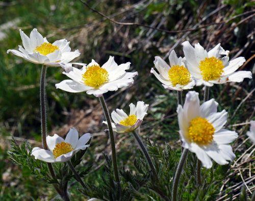 alpine anemone alpenkuhschelle maritime alps