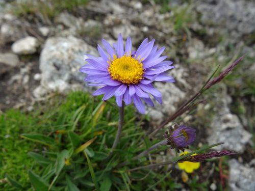 alpine aster aster alpinus alps starflower