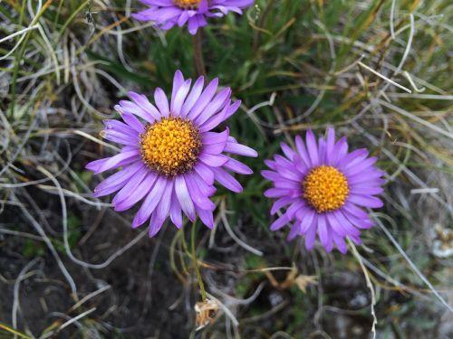 alpine aster switzerland plant