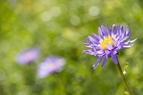 alpine aster  blossom  bloom