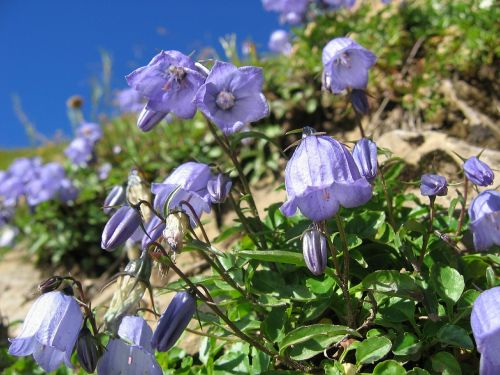 alpine bellflower bellflower blossom