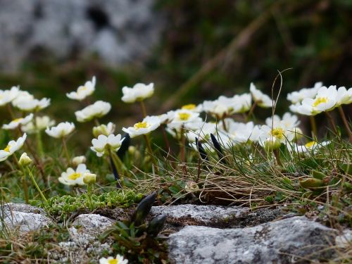 alpine buttercup blossom bloom