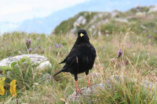 alpine chough beak yellow