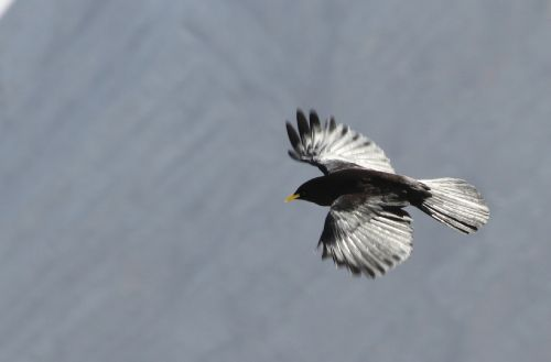 alpine chough crow bird