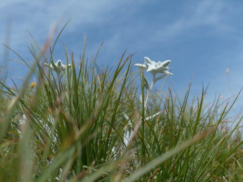alpine edelweiß ordinary edelweiss