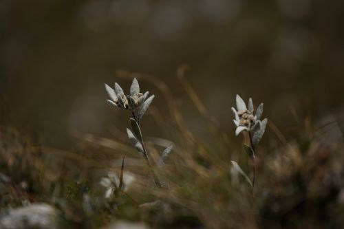 alpine edelweiß edelweiss leontopodium microdochium