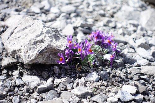 alpine flower  mountain flower  pink