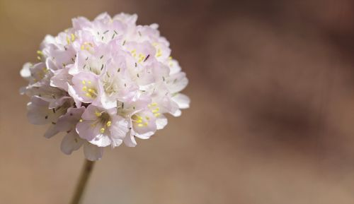 alpine-grass elke flower armeria alpina