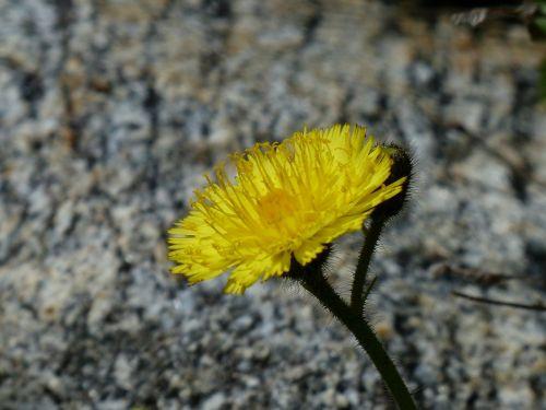 alpine hawkweed flower blossom