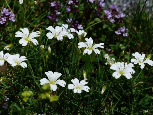 alpine hornwort flower blossom