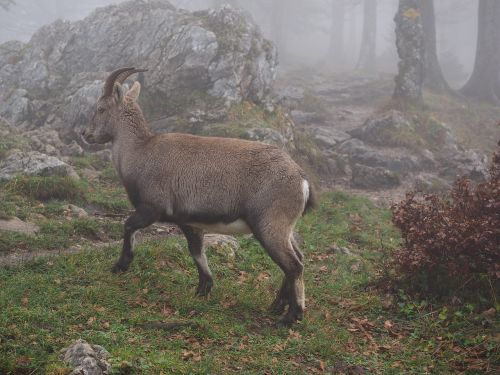 alpine ibex capricorn animal