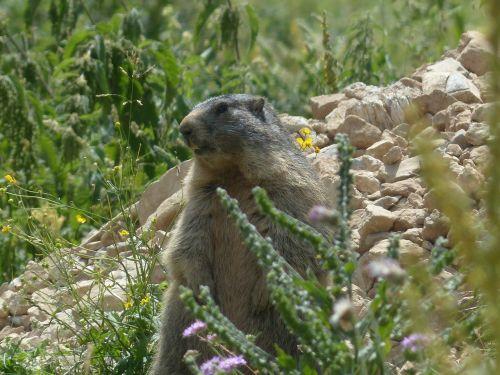 alpine marmot animal marmota marmota