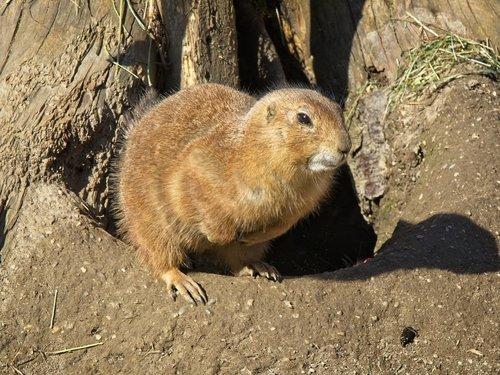 alpine marmot  marmot  gophers