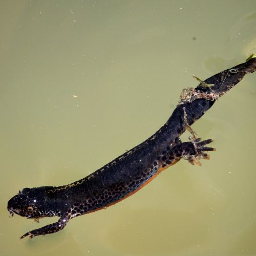alpine newt salamander amphibian