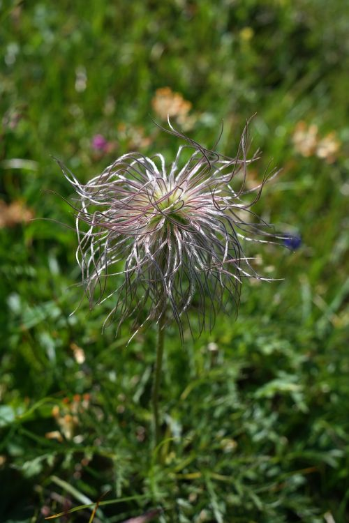 alpine pasqueflower faded alpine flower